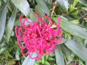 A Waratah, perhaps? Certainly Proteaceae